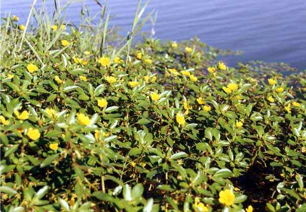 Plantes invasives au bord des cours d'eau.